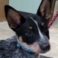 thumbnail image for blog post: Franklin the Heeler Pup